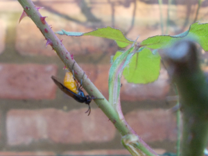 Large Rose Sawfly (probably)