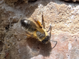 masonry bee perhaps