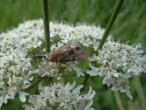 Brown moth on hogweed