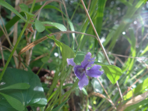 Viola reichenbachiana, Early Dog-violet