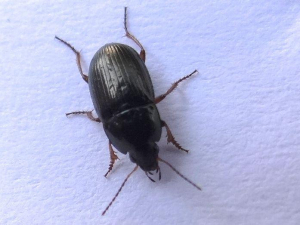 7mm black beetle