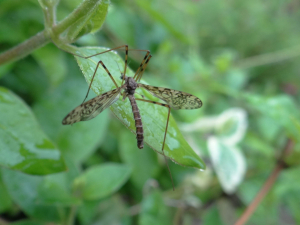 Cranefly with targets on its wings