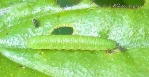 Brimstone caterpillar?