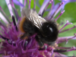 Red-shanked Carder Bee