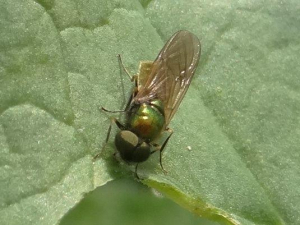 Gold and green fly