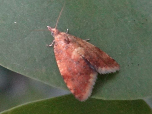 Another tortrix moth I think
