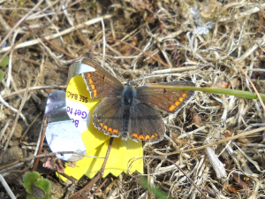 Brown Argus or Common Blue?