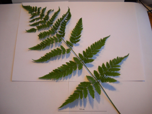 Dryopteris fern - but which one?