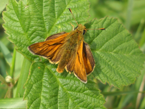 Large or small skipper butterfly?