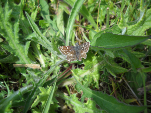 Grizzled skipper