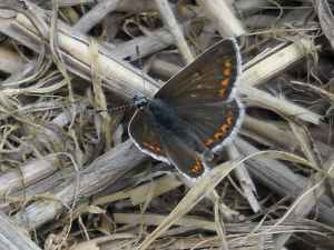 Male Brown Argus