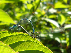Common Blue Damselflies?