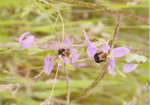 bee or spider orchid